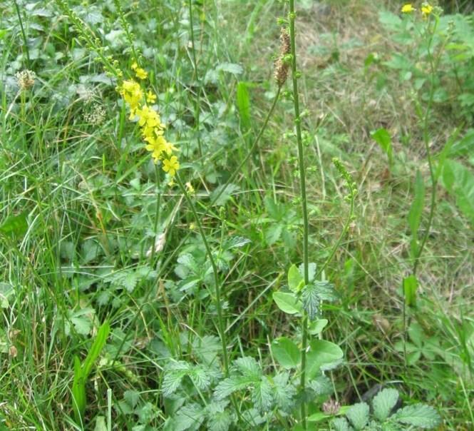 В народной медицине траву репешок называют сороканедужник и часто применяют от многих болезней. .  Трава...
